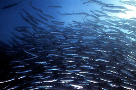 atlantic_herring_560