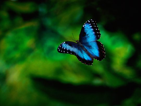 morpho-butterfly-in-flight