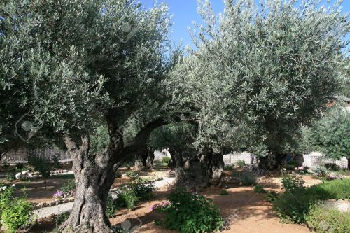 olive17422760-olive-trees-in-garden-of-gethsemane-jerusalem-stock-photo