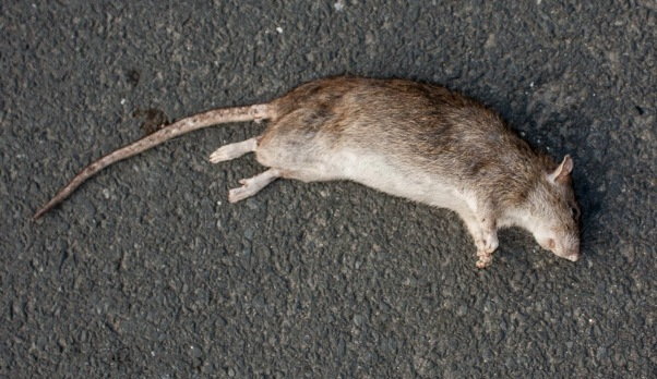 Image result for dead rat